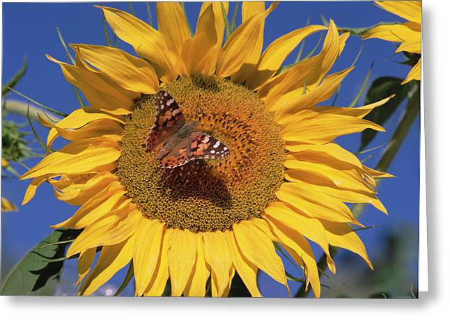 Paint Photograph Greeting Cards - Painted Lady On Sunflower New Mexico Greeting Card by Tim Fitzharris