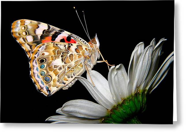 Painted Lady Greeting Cards - Painted Lady on White Daisy Greeting Card by David and Carol Kelly