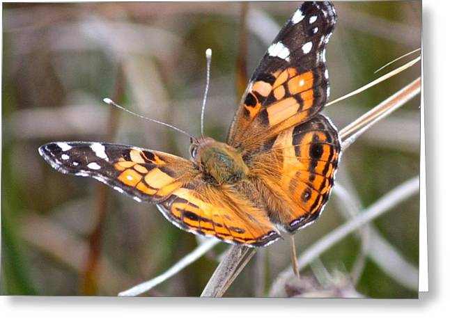 Painted Lady Butterflies Greeting Cards - Painted Lady Square Greeting Card by Carol Groenen