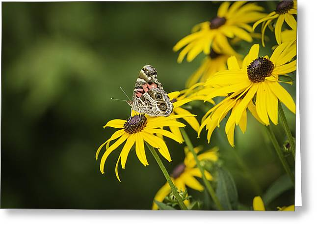 Painted Lady Butterflies Greeting Cards - Painted Lady Greeting Card by Thomas Young