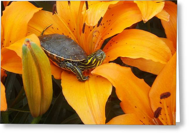 Tangerines Greeting Cards - Painted Lilly Greeting Card by James Peterson