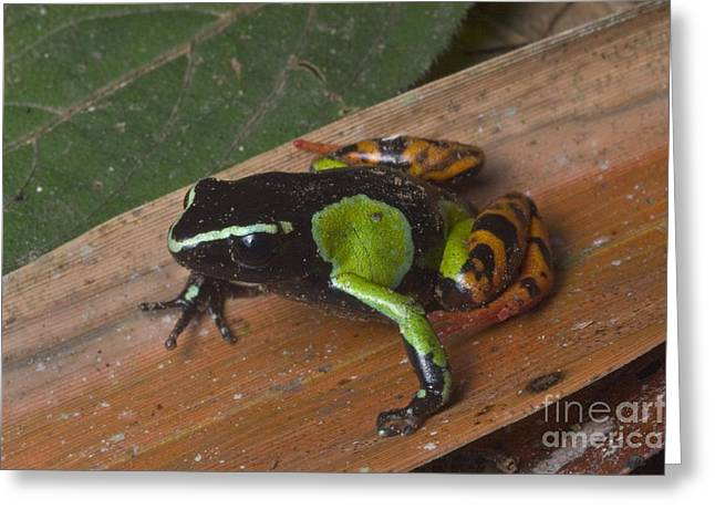 Anuran Greeting Cards - Painted Mantella Frog Greeting Card by Greg Dimijian