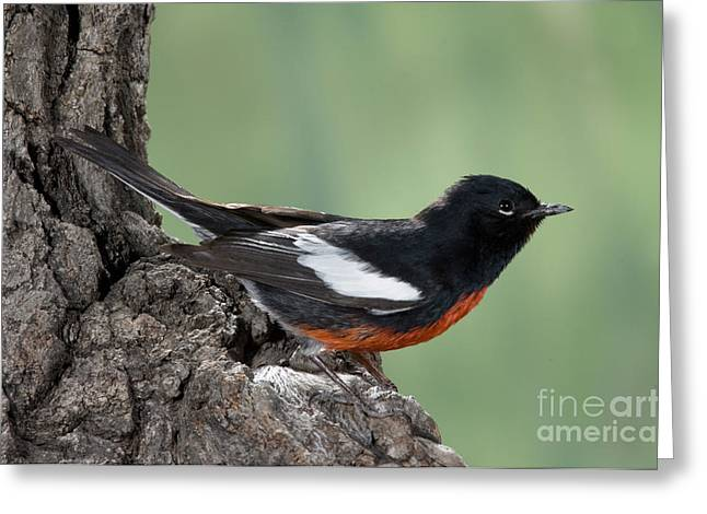 American Redstart Greeting Cards - Painted Redstart Myioborus Pictus Greeting Card by Anthony Mercieca