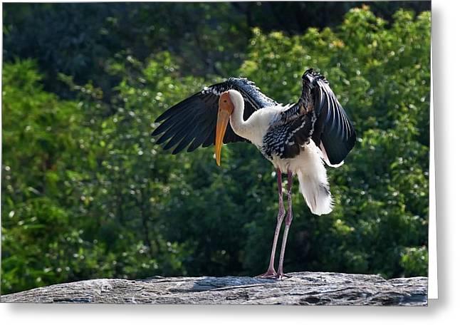 Painted Stork Drying Its Wings Greeting Card by K Jayaram