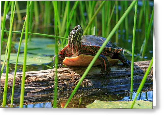 Red Green Black Pyrography Greeting Cards - Painted Turtle Sunning Greeting Card by Rebecca Brooks