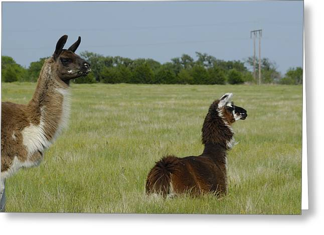 Pair Of Alpacas Greeting Card by Charles Beeler