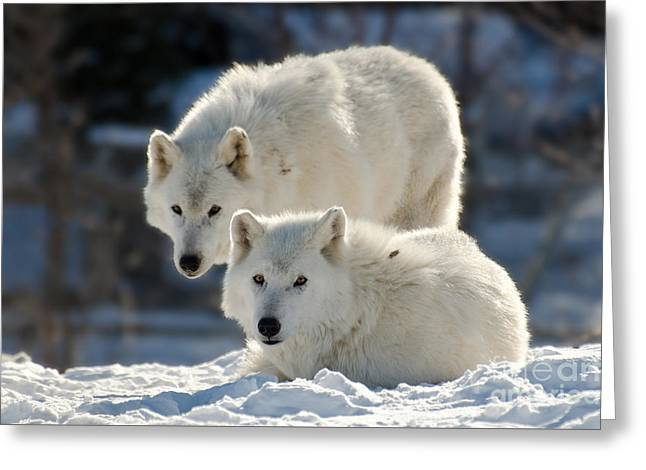 Hairy Wolf Greeting Cards - Pair of arctic wolves Greeting Card by Les Palenik