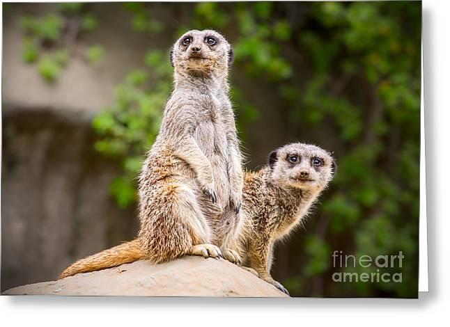 Meerkat Photographs Greeting Cards - Pair of Cuteness Greeting Card by Jamie Pham