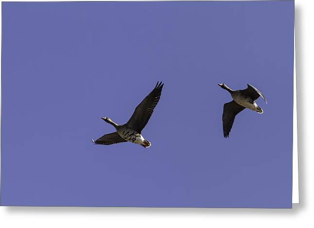 Great Migration Greeting Cards - Pair Of Greater White Fronted Geese Greeting Card by Thomas Young