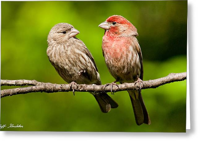 Wildlife Celebration Greeting Cards - Pair of House Finches in a Tree Greeting Card by Jeff Goulden