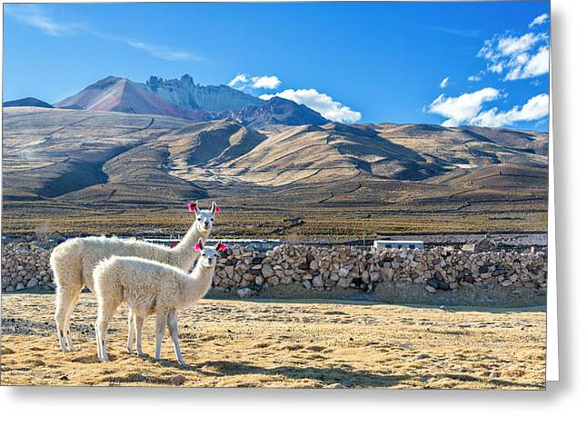 Alpacas Greeting Cards - Pair of Llamas Greeting Card by Jess Kraft