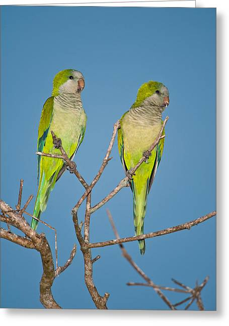 Monk Parakeet Greeting Cards - Pair Of Monk Parakeets Myiopsitta Greeting Card by Panoramic Images