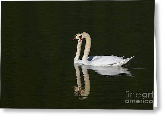 Muted Greeting Cards - Pair of Mute Swans Greeting Card by Sharon  Talson