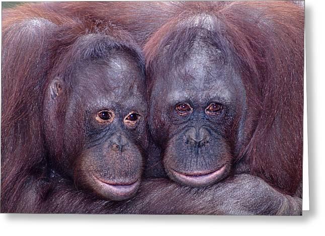 Robert Jensen Greeting Cards - Pair Of Orangutans Greeting Card by Robert Jensen
