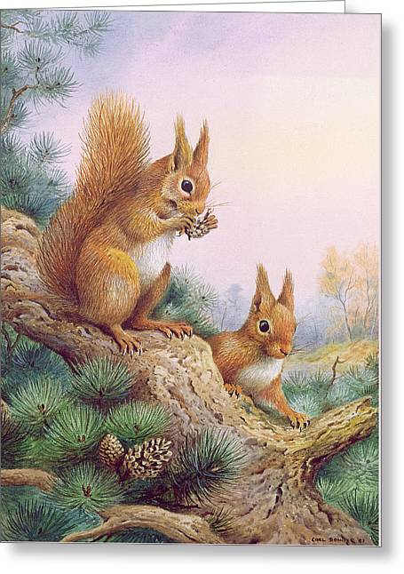 Pair Of Red Squirrels On A Scottish Pine Greeting Card by Carl Donner