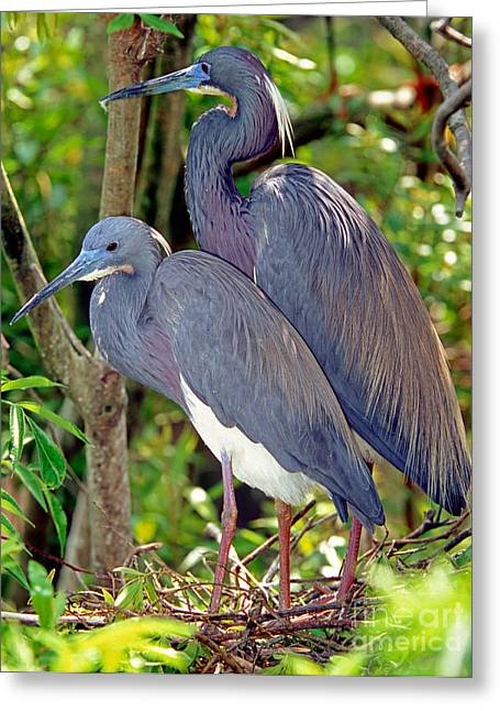 Egretta Tricolor Greeting Cards - Pair Of Tricolored Heron At Nest Greeting Card by Millard H. Sharp
