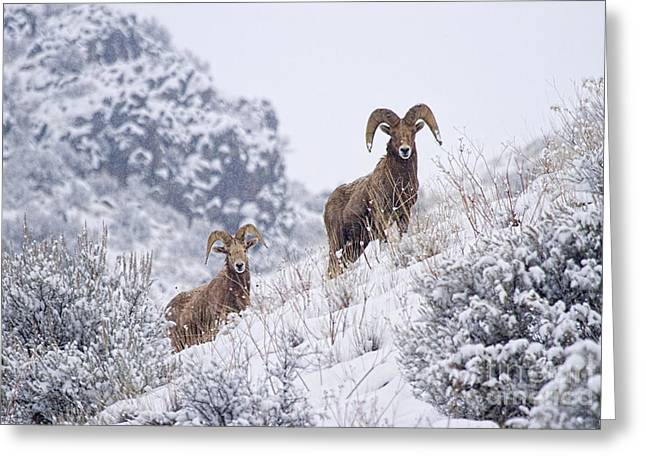 Yakima River Greeting Cards - Pair of Winter Rams Greeting Card by Mike  Dawson