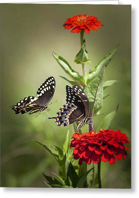 Palamedes Swallowtail Butterflies Greeting Card by Jo Ann Tomaselli