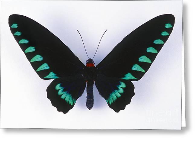 Silhouettable Greeting Cards - Palawan Birdwing Butterfly Greeting Card by Barbara Strnadova