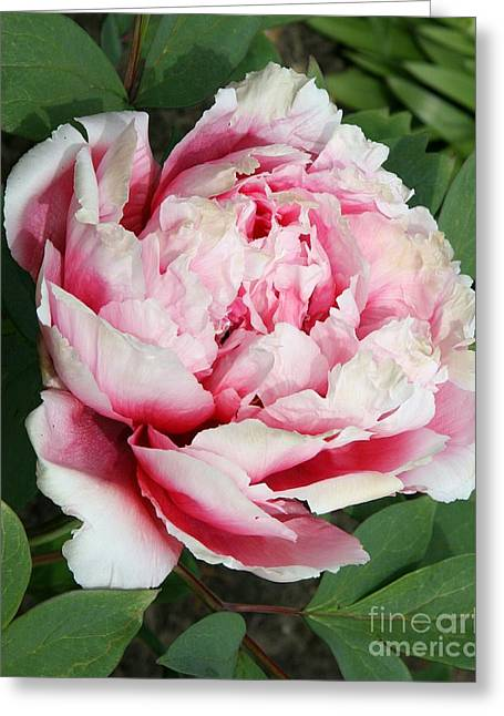 Christiane Schulze Greeting Cards - Pale And Dark Pink Peony Greeting Card by Christiane Schulze Art And Photography