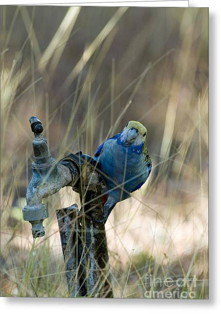 Faucet Greeting Cards - Pale-headed Rosella Australia Greeting Card by William H. Mullins
