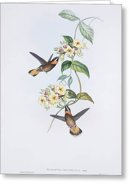 Trochilidae Greeting Cards - Pale-tailed barbthroats, artwork Greeting Card by Science Photo Library