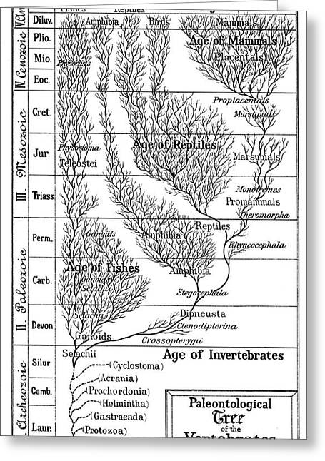 Paleontological Tree Of Vertebrates Greeting Card by Universal History Archive/uig