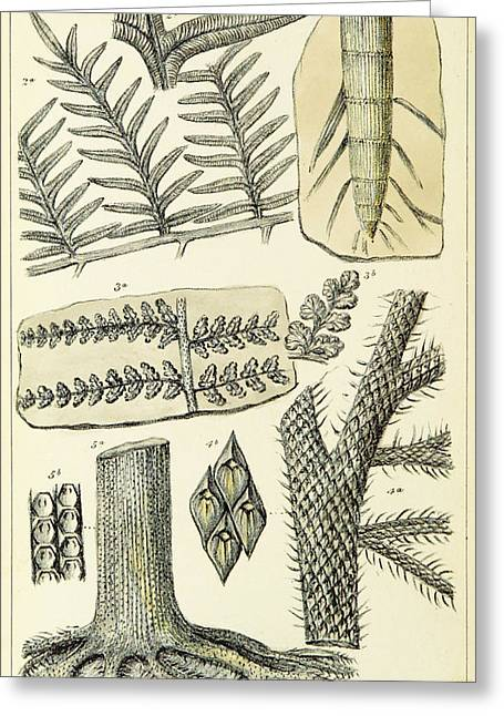 Greeting Card featuring the photograph Paleozoic Flora, Calamites, Illustration by British Library