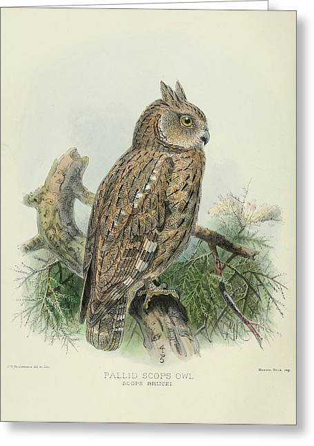 Pallid Scops Owl Greeting Card by J G Keulemans