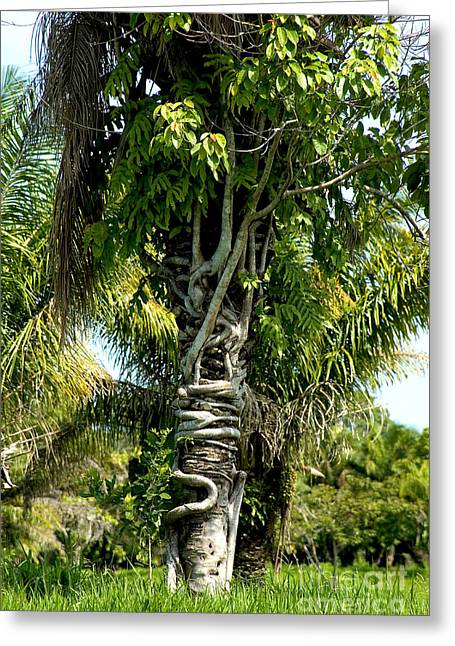Strangler Fig Greeting Cards - Palm Being Strangled By Strangler Fig Greeting Card by Gregory G. Dimijian, M.D.