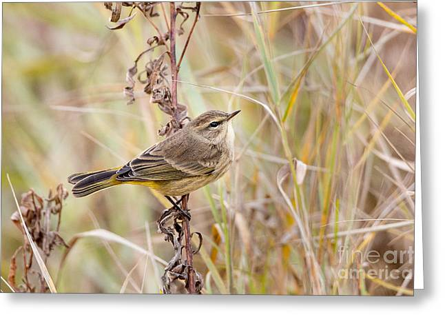 Wood Warbler Greeting Cards - Palm Warbler In Autumn Greeting Card by Linda Freshwaters Arndt