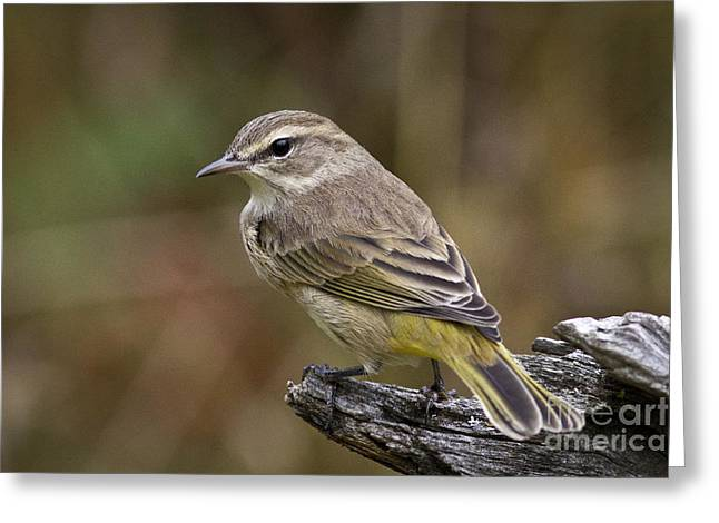 Wood Warbler Greeting Cards - Palm Warbler Greeting Card by Linda Freshwaters Arndt
