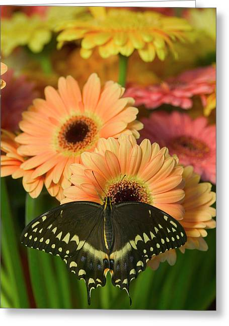 Palmates Swallowtail Butterfly Greeting Card by Darrell Gulin
