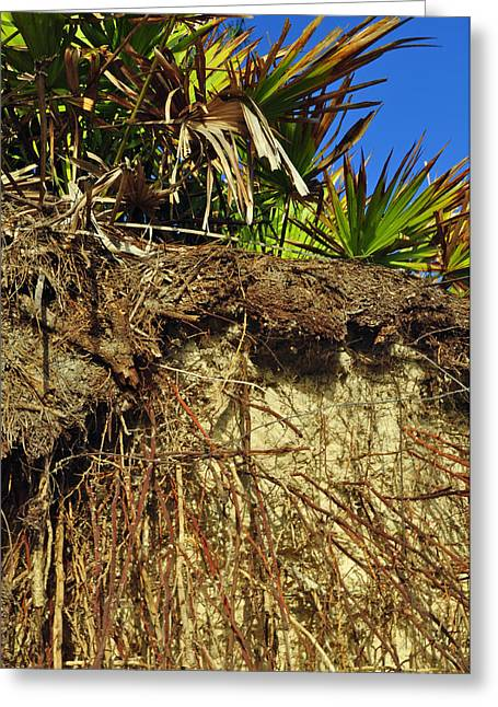 Beach Photograph Greeting Cards - Palmettos and Roots on the Beach of Jekyll Island State Park Greeting Card by Bruce Gourley