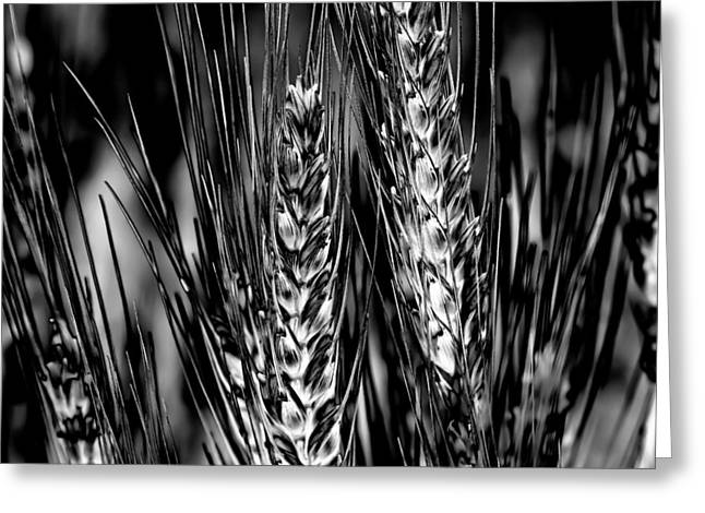White Beard Greeting Cards - Palouse Wheat Greeting Card by David Patterson