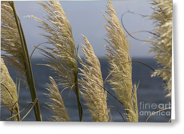 Abstract Seascape Photographs Greeting Cards - Pampas Grass Greeting Card by Brian Roscorla