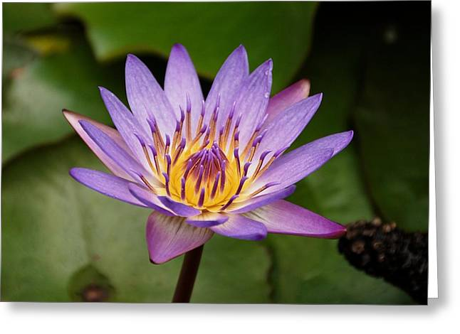 Panama Pacific Water Lily Greeting Card by Trever Miller