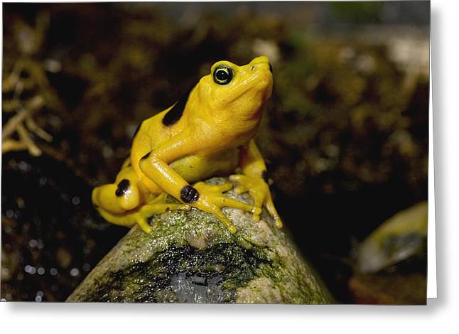 Critically Endangered Species Greeting Cards - Panamanian Golden Frog Greeting Card by San Diego Zoo