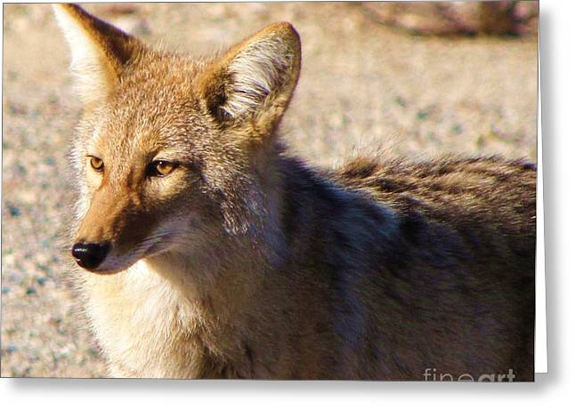 Brush Wolf Greeting Cards - Coyote the Trickster Greeting Card by Michele Penner