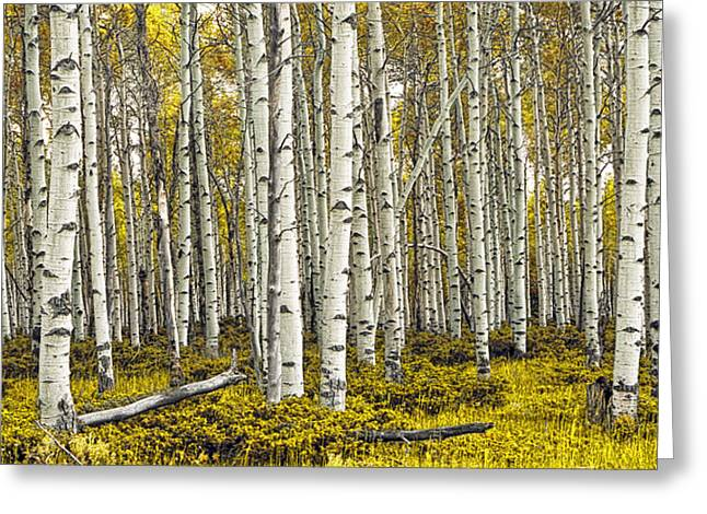 Peaceful Scene Greeting Cards - Panoramic Birch Tree Forest Greeting Card by Randall Nyhof