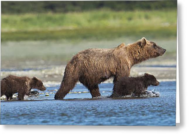 Fishing Creek Greeting Cards - Panoramic Of Brown Bear Sow And Cubs On Greeting Card by Lorraine Logan