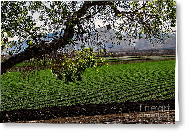 Lettuce Greeting Cards - Panoramic of Winter Lettuce Greeting Card by Robert Bales