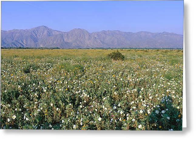 Rural Landscapes Greeting Cards - Panoramic View Of Desert Lillies Greeting Card by Panoramic Images