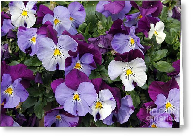 Johnny Jump Up Pansy Greeting Cards - Pansies Greeting Card by Bambi Golombisky