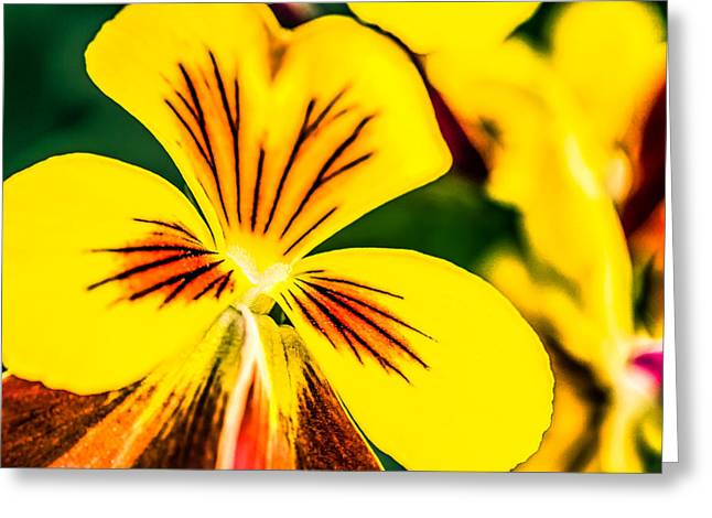 Wild Pansy Greeting Cards - Pansy Flower 2 Greeting Card by Alexander Senin