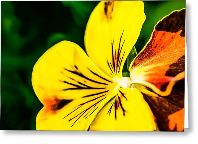 Viola Tricolor Greeting Cards - Pansy Flower 3 Greeting Card by Alexander Senin