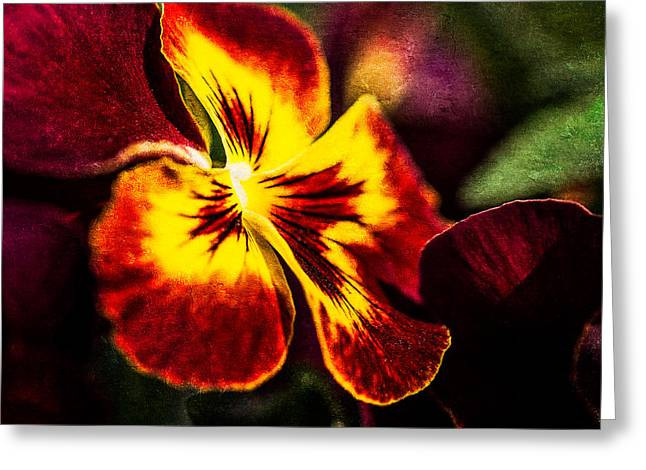Viola Tricolor Greeting Cards - Pansy Flower 4 Greeting Card by Alexander Senin