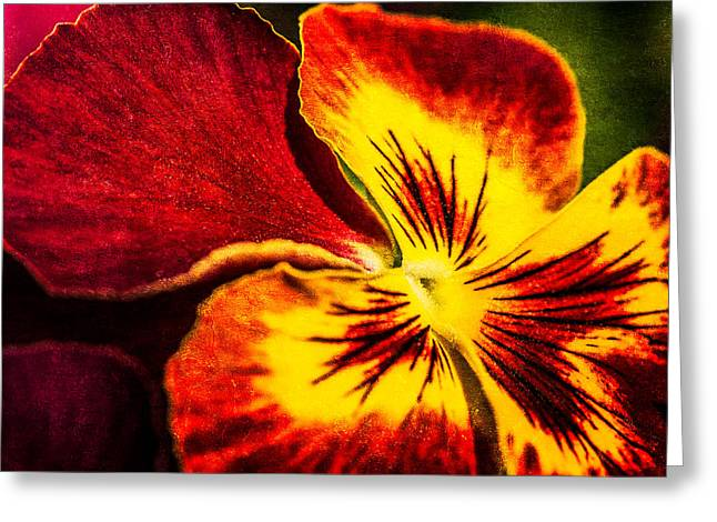Wild Pansy Greeting Cards - Pansy Flower 5 Greeting Card by Alexander Senin