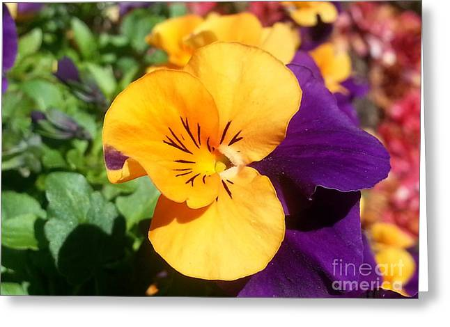 Viola Tricolor Greeting Cards - Pansy Greeting Card by Heather L Giltner