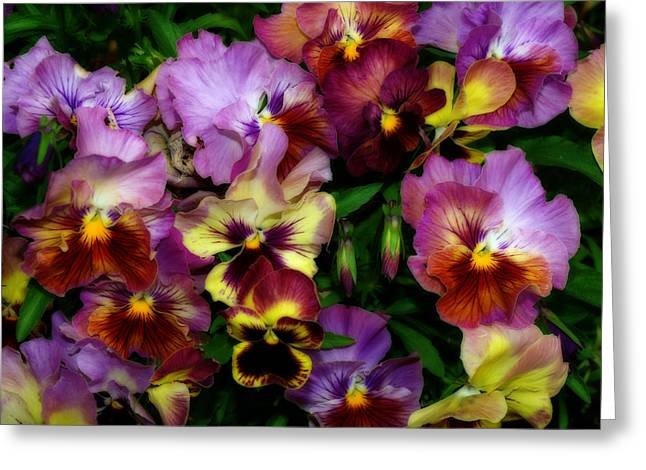 Diane Schuster Greeting Cards - Pansy Mania Greeting Card by Diane Schuster